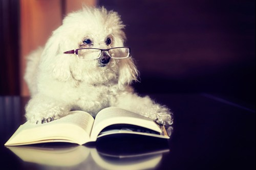 Image of a small dog with reading glasses reading a book